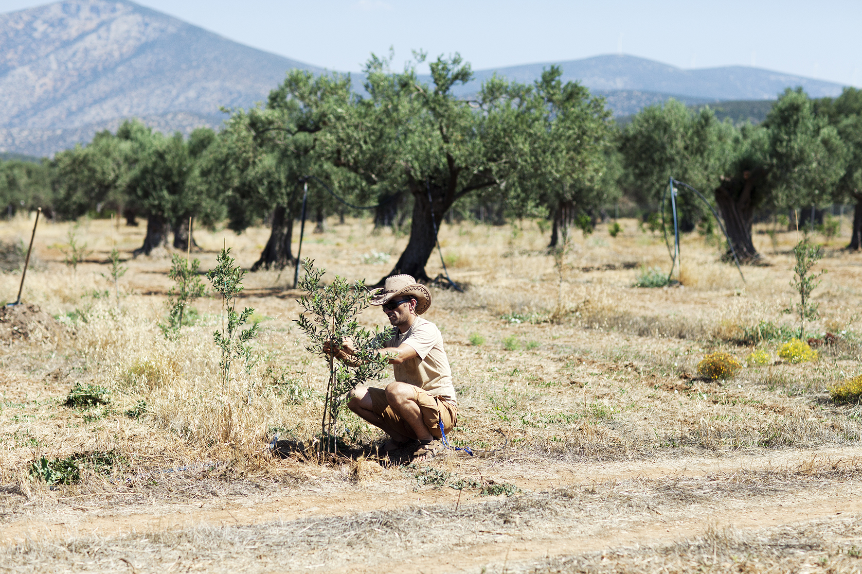 Climate change and new olive tree planting.