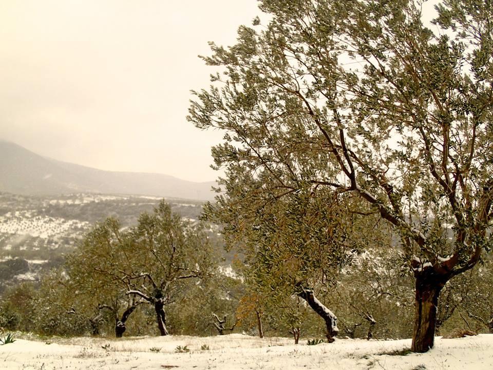 snow-olives