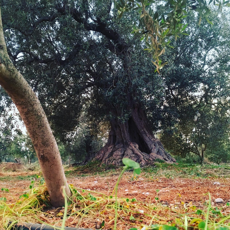 200kg of olives